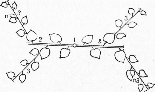 Схема прищипки дыни при