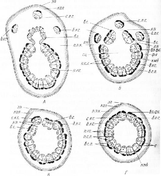 Строение трехлакунного узла