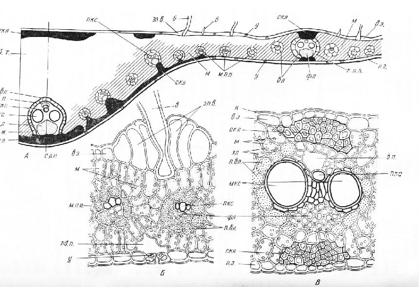 А — схема строения листовой