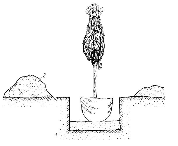 Схема посадки древесного